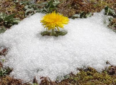 中庭に咲くタンポポ